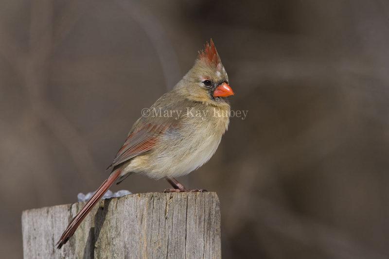 Northern Cardinal _11R1862.jpg
