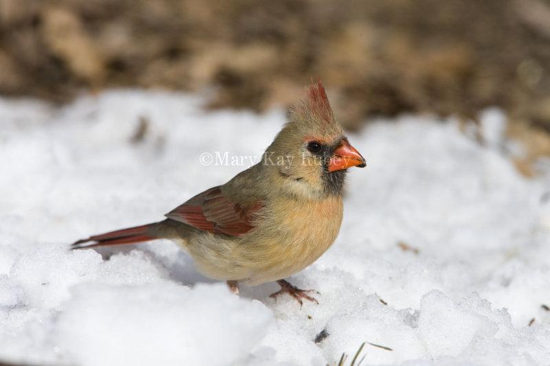 Northern Cardinal _11R2377.jpg