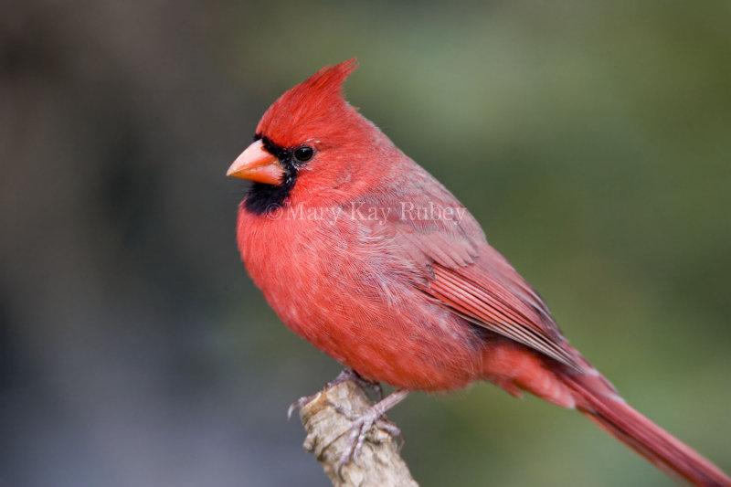 Northern Cardinal _S9S8785.jpg