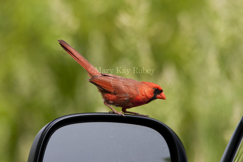 Northern Cardinal attacking reflection _I9I4835.jpg