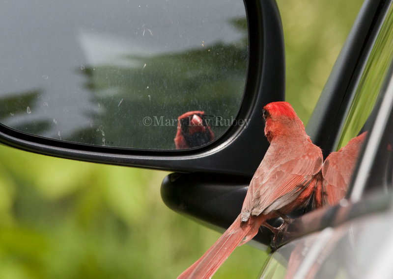 Northern Cardinal attacking reflection _I9I4840.jpg