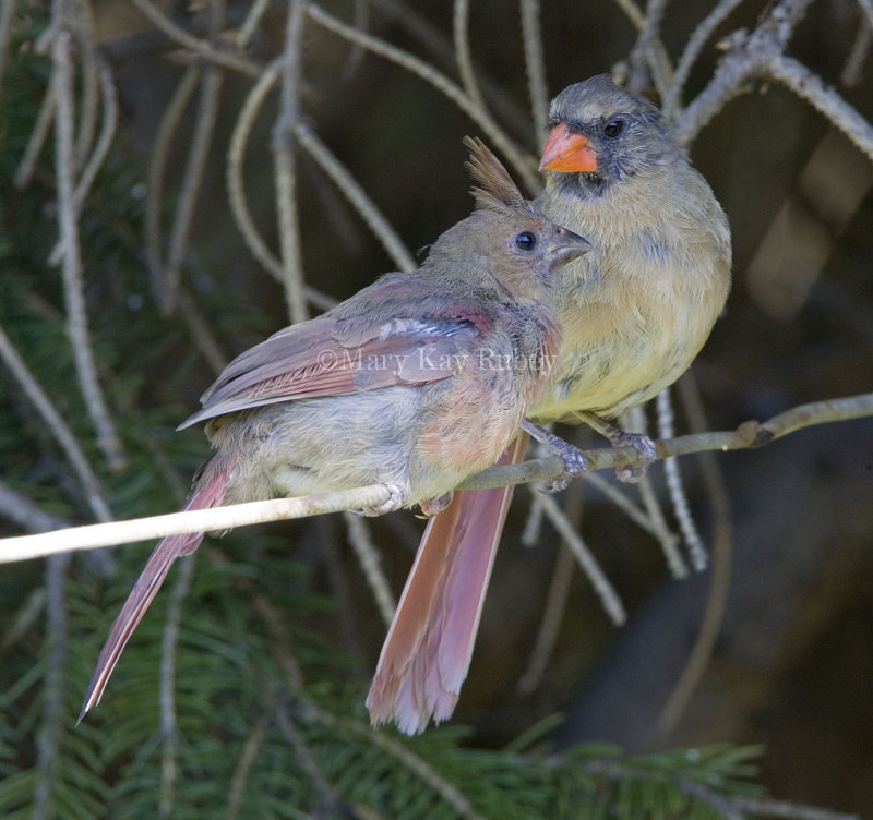 Northern Cardinal juvenile + female _S9S7471.jpg