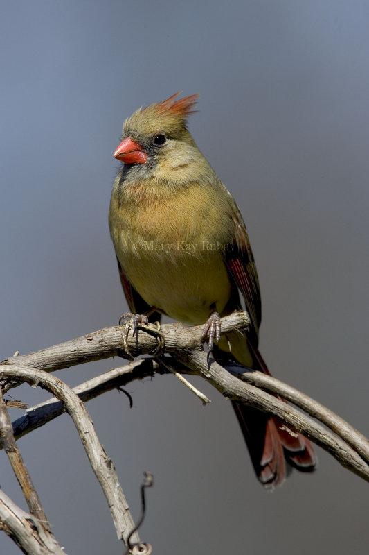 Northern Cardinal female _H9G4122.jpg