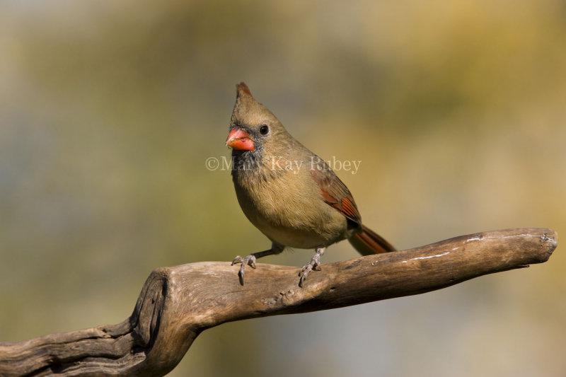 Northern Cardinal female _I9I3997.jpg