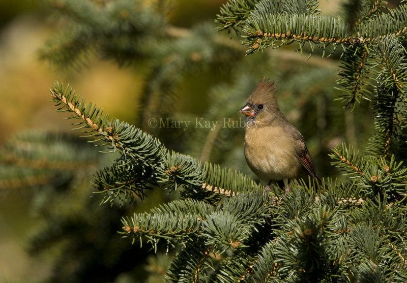 Northern Cardinal immature _I9I4034.jpg