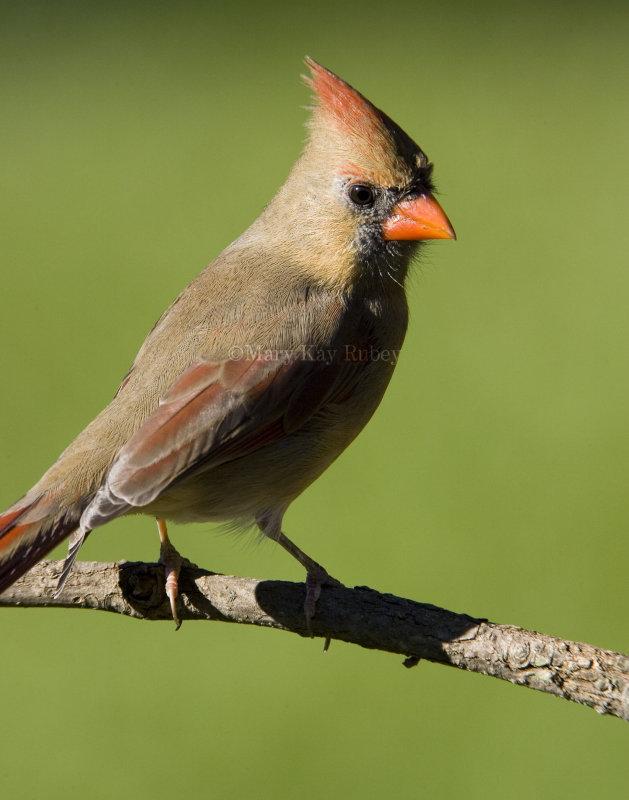 Northern Cardinal female _S9S9675.jpg