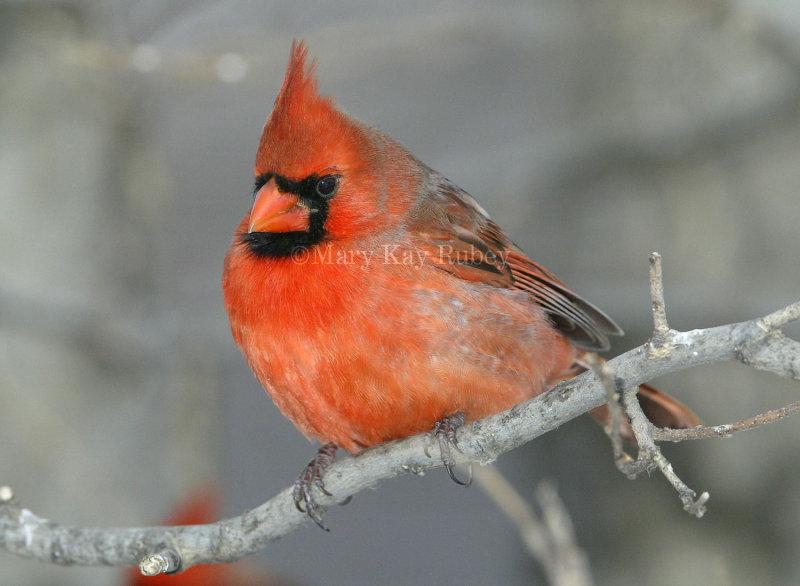Northern Cardinal male _D4EC6318.jpg