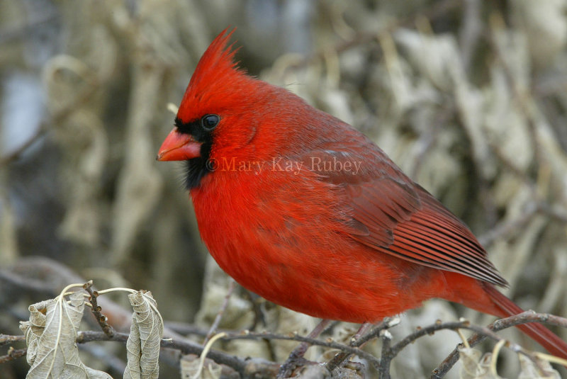 Northern Cardinal male _D4EC6473.jpg