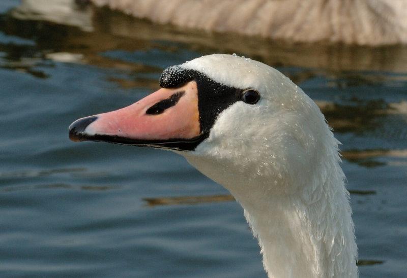 Swan 95.jpg