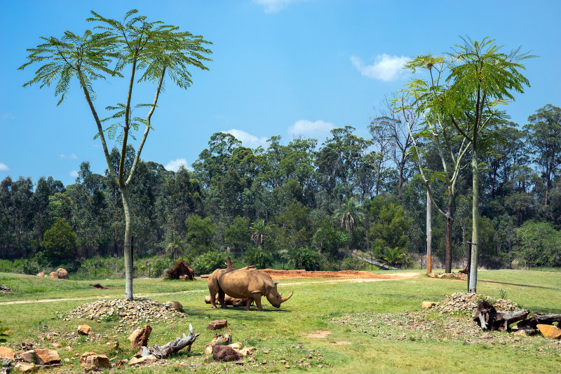 Rhinoceros at Australia Zoo.