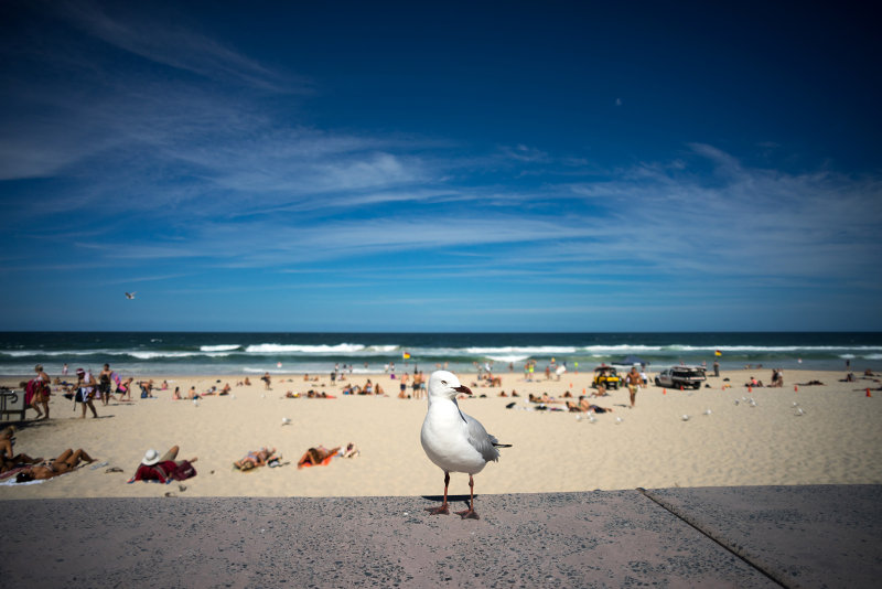 Seagull at Surfers paradise, Gold Coast.