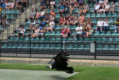 Condor performing at Australia Zoo.