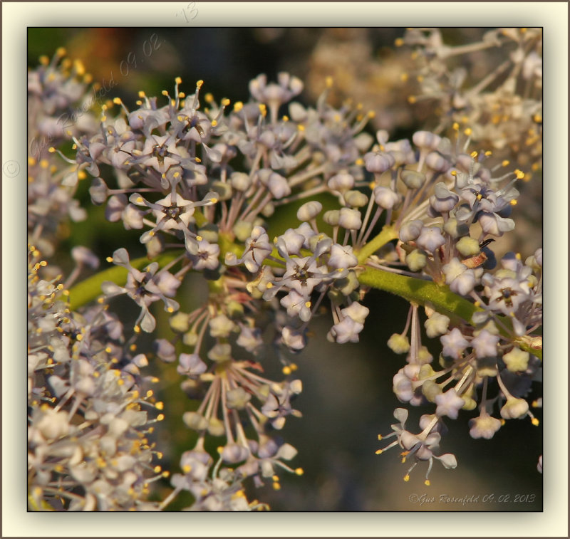Green Bark Ceanothus/Califorina Lilac