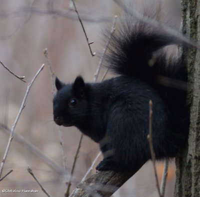 Grey squirrel, black phase