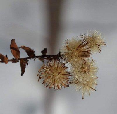 Aster seeds