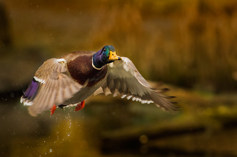 Mallard take off