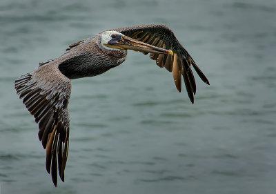 Pelicans at Westport