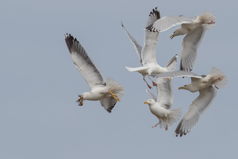 Herring Gull    Scotland