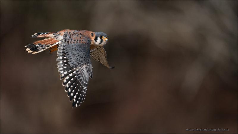 Kestrel in Flight  (captive)