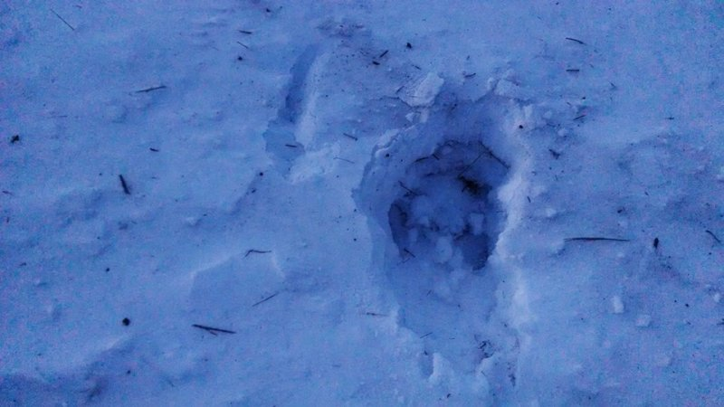 This is a set of Great Gray Owl footprints through a foot of snow, after a successful hunt!!