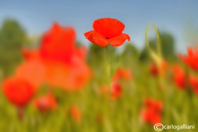 Papaver rhoeas - Poppies