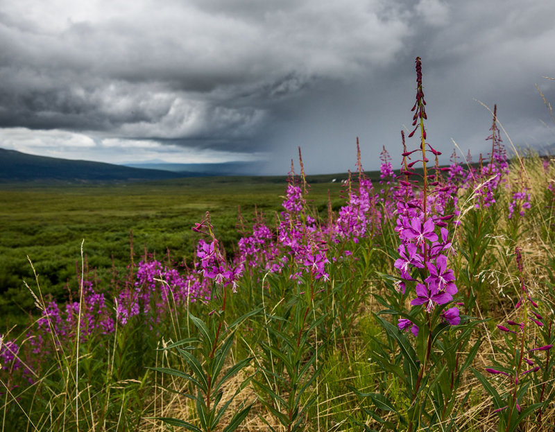 The state wildflower. Fireweed. CZ2A8334.jpg