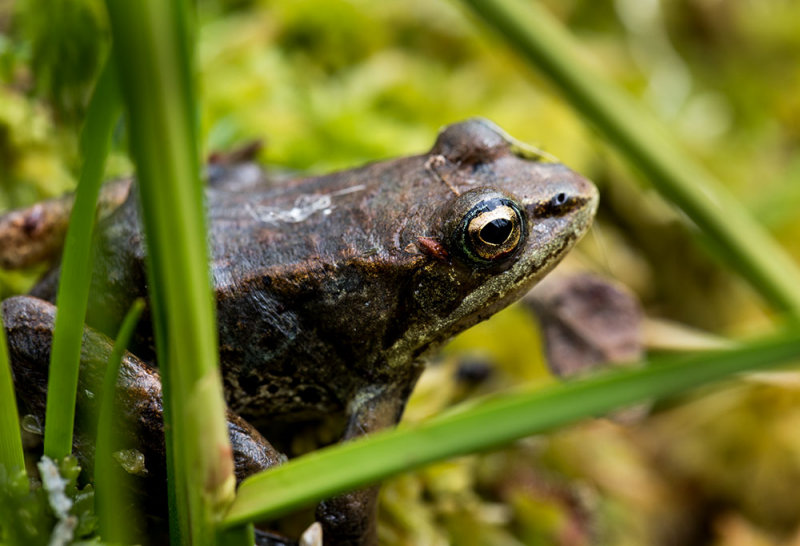 A wood frog. The only amphibian to occur in Alaska. CZ2A7893.jpg