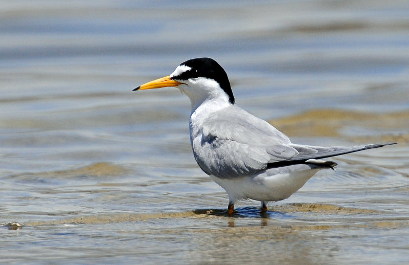 Tern, Least