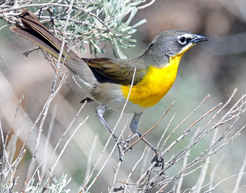 Chat, Yellow-breasted