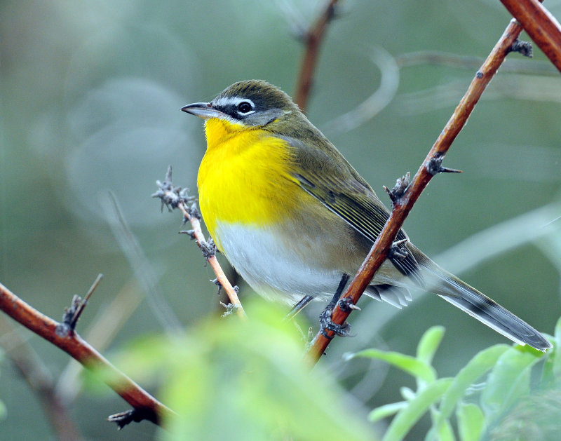 Chat, Yellow Breasted