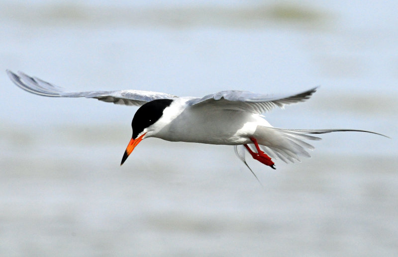 Terns, Forsters