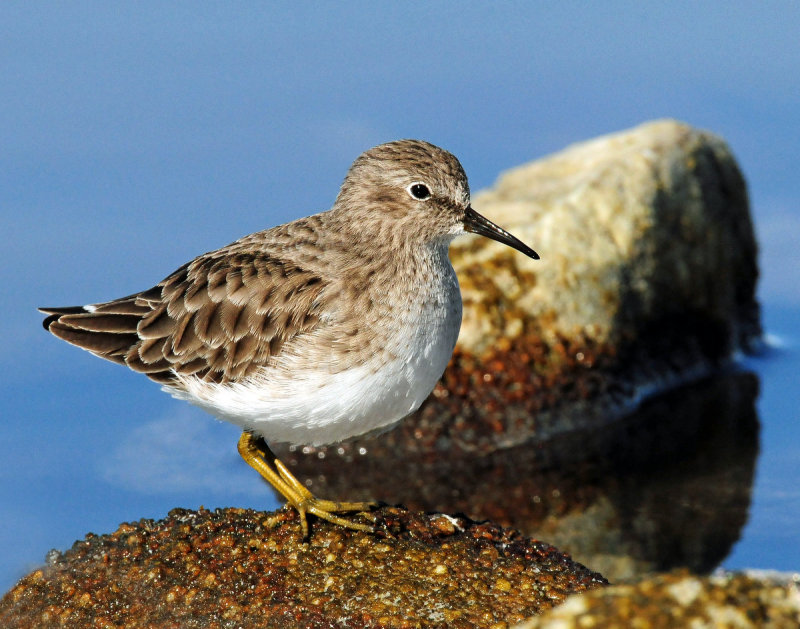 Sandpipers Least