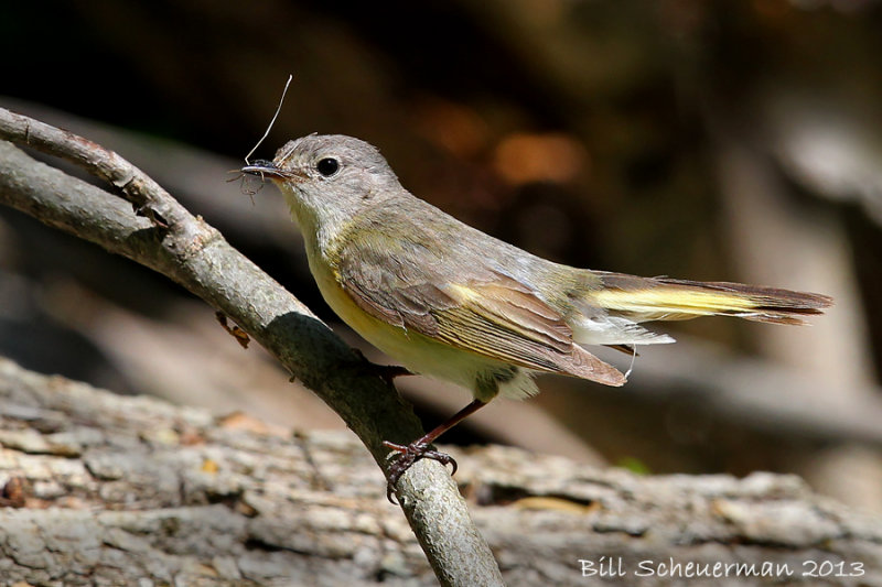 American Redstart ♀