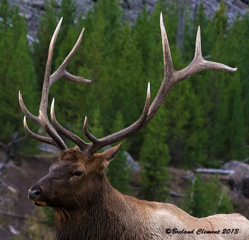 Madison River Bull Elk, Yellowstone National Park