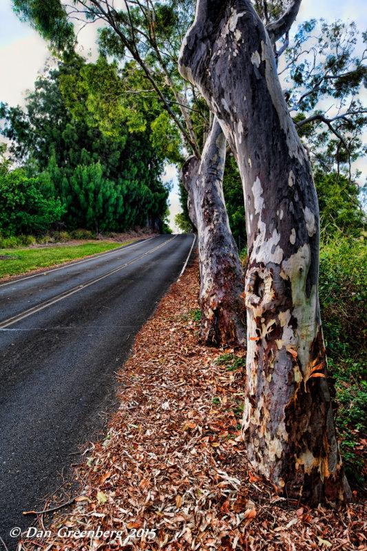Eucalyptus Trees Along Route 270