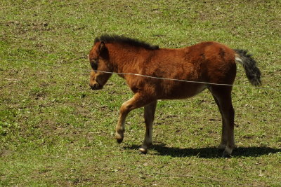 Minature colt