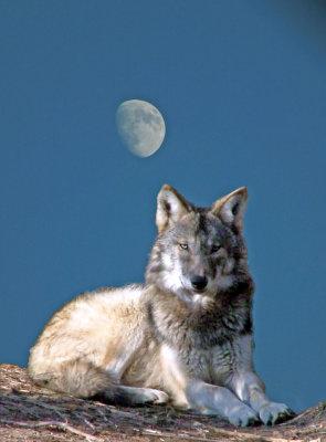 #6 Grey Wolf Moon