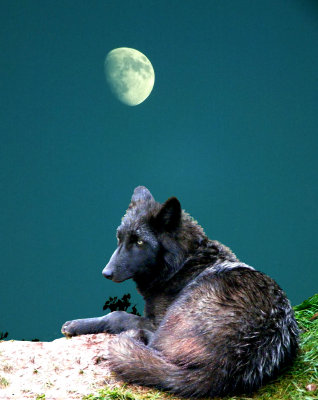 #5  Black Wolf in Moon Light