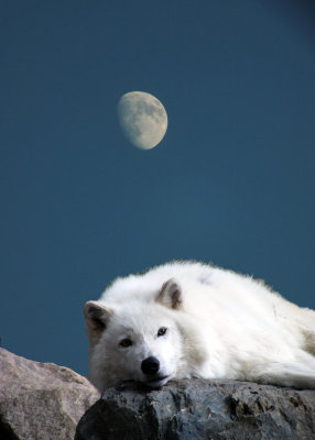 #2  White Wolf in Moon Light