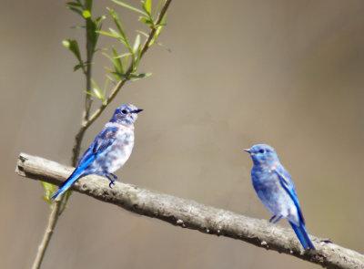 Bluebirds at Custer