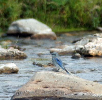 Bluebird at Custer Creek