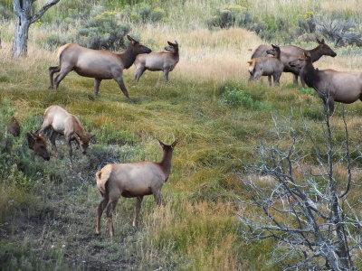 Mammoth Elk herd