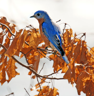 Bluebird in leaves