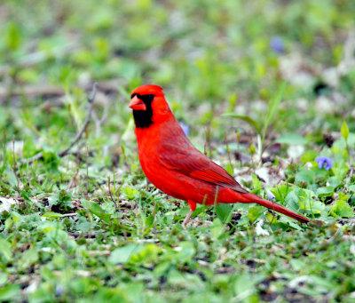 Cardinal in grass