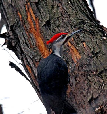 Peliated Woodpecker