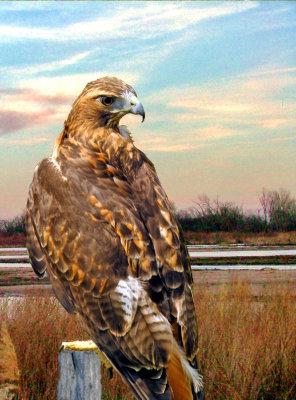 Redtailed Hawk.jpg