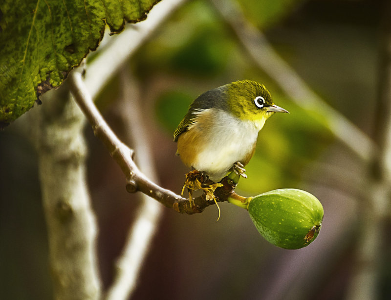 Waxeye in our fig tree