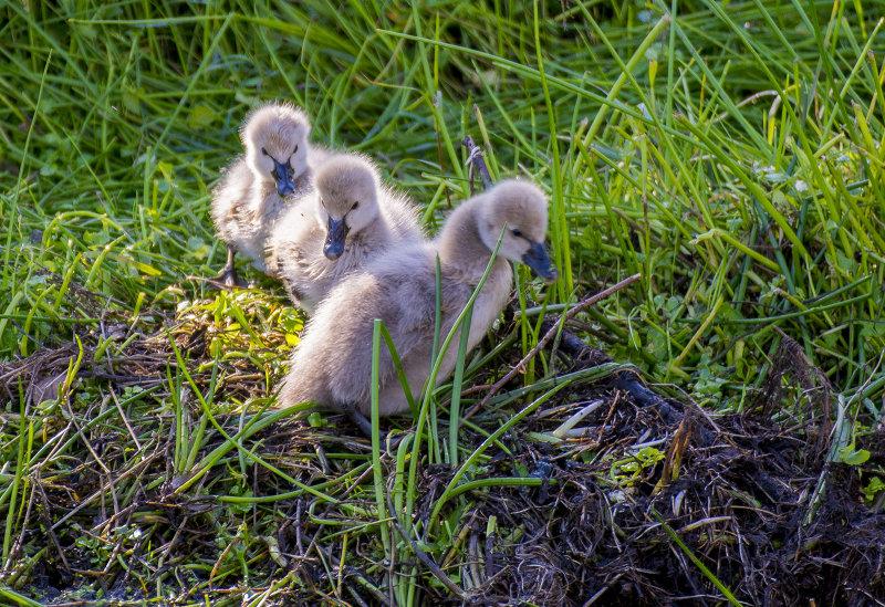 Swan chicks
