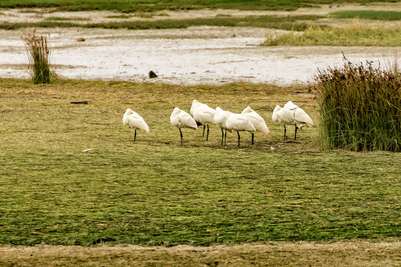 A small flock of Royal Spoonbills hiding the fact they are Spoonbills