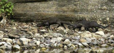 Otter Family Running to Feeding Area